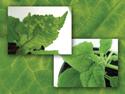 Mol Plant Microbe Interact. 2014; 27(2): 136-149